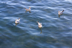 Seagulls Swimming Royalty Free Stock Photos