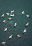 Seagulls swimming in the water Royalty Free Stock Images