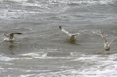 Seagulls swimming on a waves. Picture was made at Baltic Sea in Poland. That was very windy morning. I saw many seagulls trying to fly forward but due to wind Stock Photo