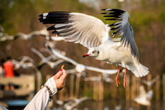 Seagulls swooping food Royalty Free Stock Images