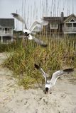 Seagulls swooping onto beach. royalty free stock photography