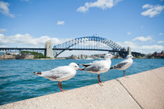 Seagulls and Sydney Harbour Bridge. Three seagulls perched in row on concrete wall with Sydney Harbour Bridge in background Royalty Free Stock Photography