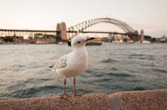 Seagulls at Sydney Harbour at dusk Royalty Free Stock Photos