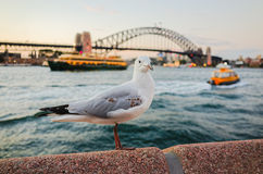 Seagulls at Sydney Harbour at dusk Stock Photos