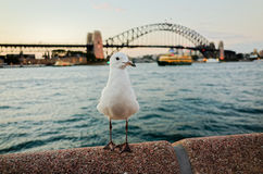Seagulls at Sydney Harbour at dusk Stock Photo