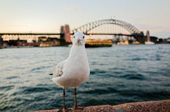 Seagulls at Sydney Harbour at dusk Royalty Free Stock Images