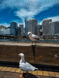 seagulls in sydney royalty free stock photography