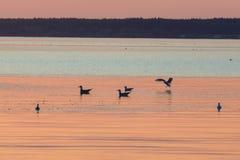 Seagulls sylwetki unosi się na pluskotać wody powierzchnię zdjęcia royalty free