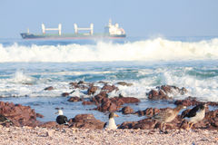 Seagulls take a rest on shore in Antofagasta Stock Images