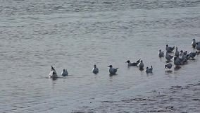 Seagulls at the river. Seagulls taking a bath in the river stock video footage