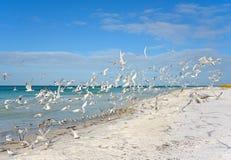 Seagulls taking Flight Stock Photo