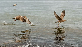 Seagulls Taking Flight. From the sea Royalty Free Stock Image