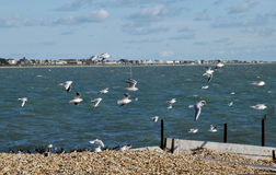 Seagulls taking flight. On a sunny day at the seaside Stock Images