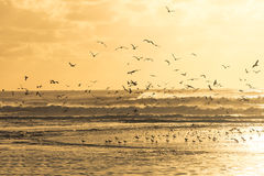 Seagulls taking off a beach during sunset Royalty Free Stock Photography