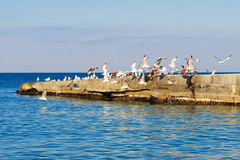Seagulls taking off from the breakwater. Royalty Free Stock Photos