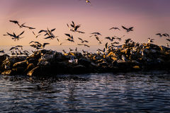 Seagulls Taking Off From Rocks Stock Photo