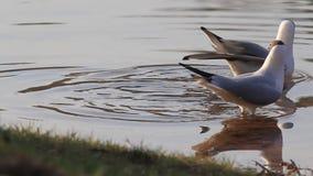 Seagulls tanczy kotelnię tanczą pozycję w wodzie zbiory