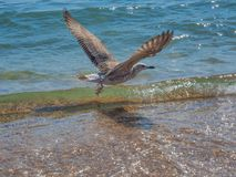 Seagull in search of food. Seagulls in their habitat fly along the beach in food poets and pester tourists Stock Images