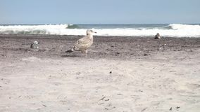 Seagulls. Three seagulls at the beach, in Atlantic City, New Jersey stock footage