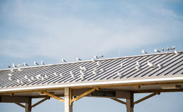 Seagulls on Tin Roof of a Pier Stock Photos