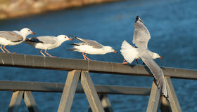 Seagulls about to fly  Royalty Free Stock Photo