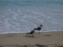 Seagulls on a tropical beach. Birds standings by the surf at lower bay, bequia stock video footage