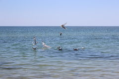 Seagulls are trying to catch the fish Royalty Free Stock Image