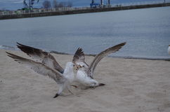 Seagulls tussling at the lakeshore Royalty Free Stock Image