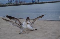 Seagulls tussling przy lakeshore Obraz Royalty Free