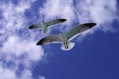 seagulls två Royaltyfri Foto