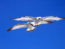 seagulls två Arkivfoto