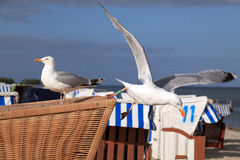 Seagulls. Two Seagulls on a beach basket Stock Photos