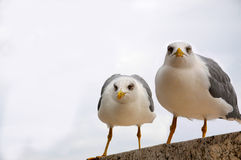 Seagulls Stock Images