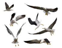 seagulls ustawiają Obraz Royalty Free