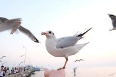 Seagulls vid sjösidan på smällPu i Thailand Arkivbild
