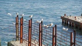 Seagulls vilar på det rostiga staketet arkivfilmer