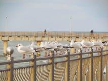 Seagulls w Bałtyckim brzegowym Königsberg Zdjęcia Royalty Free