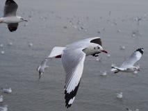 Seagulls w Bangpoo Tajlandia Zdjęcia Royalty Free