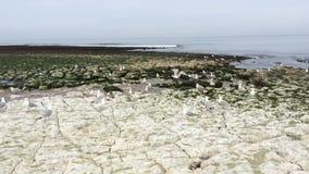 Seagulls w Etretat, Francja zdjęcie wideo