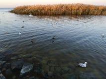 Seagulls w jeziorze obraz stock