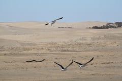 Seagulls w locie Zdjęcia Stock