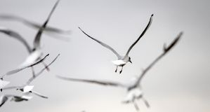 Seagulls w marzycielskim klucza wizerunku w waniliowym niebie fotografia royalty free