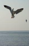 Seagulls w połowie powietrze Zdjęcia Royalty Free