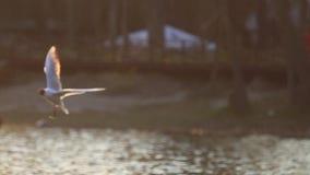 Seagulls w promieniach słońce latają nad wodą zbiory