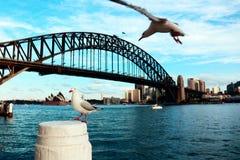 Seagulls w Sydney schronieniu zdjęcia stock