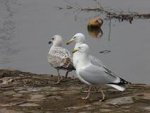 Seagulls w Topsham, Devon, Anglia UK obraz royalty free