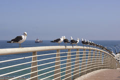 Seagulls w Valparaiso, Chile Zdjęcia Stock
