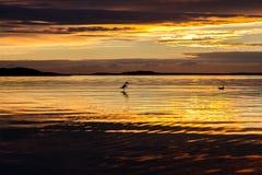 Seagulls w zmierzchu Obrazy Royalty Free