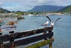 Seagulls in Waikawa Bay, Marlborough Sounds, New Zealand royalty free stock images