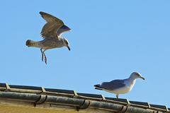 Seagulls waiting for food on Worthing seafront, UK Royalty Free Stock Photography